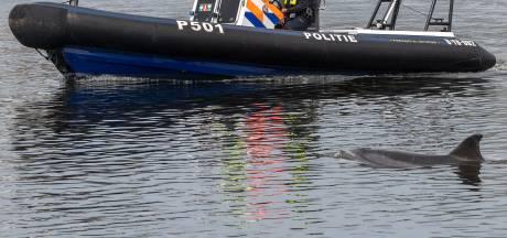 Dolfijn Zafar had net gegeten toen een schip hem dodelijk raakte