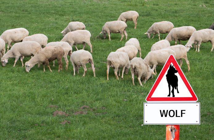 De aanwezigheid van wolven in ons land heeft volgens de LTO effect op de bedrijfsvoering van schapenhouders. Sommigen stoppen zelfs als een deel van de kudde is aangevallen.