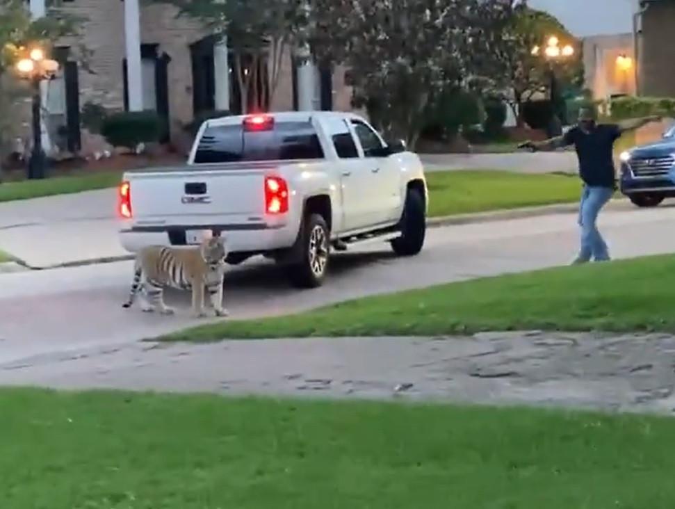 Ce dimanche soir, un tigre du Bengale a été filmé rôdant dans les rues de Houston, au Texas.