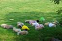 2015. Schapen in een weiland bij Haastrecht dragen Tourtruien. En ze hebben het al zo warm!