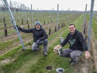 """Wijnboeren beschermen hun druiven tegen de vorst: """"Vooral de druivensoorten die vroeg bloeien, lopen gevaar"""""""