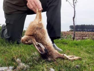 Man schiet twee hazen dood om zijn knolselder te beschermen in kweekseizoen: 2.400 euro boete