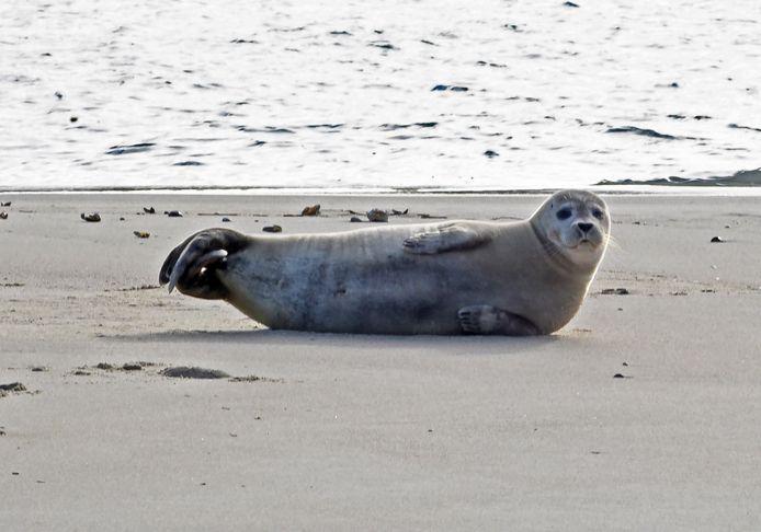 Zeehond in de Veerhaven van Breskens.