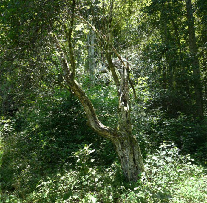 Le pommier appartenant à une dame alors âgée de 80 ans, Kate Mincey, qui a permis à Tom Brown de retrouver la pomme Junaluska en 2001