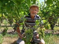 Druiven veranderen in rozijnen in Haps en Sint Agatha
