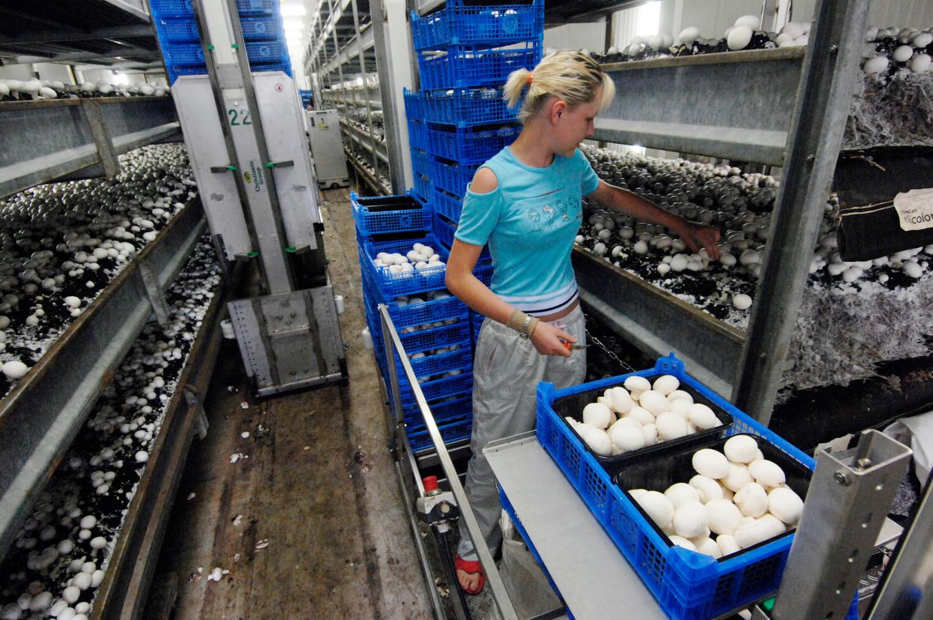 Niet alleen in de Zaltbommelse kassen maar ook in de Maasdrielse champignonbedrijven werken veel mensen uit Oost-Europese landen.