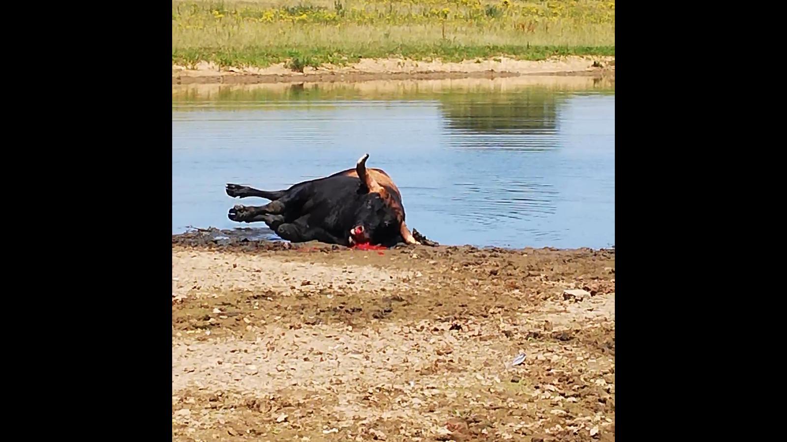 Het doodschieten van een tauros in Keent.