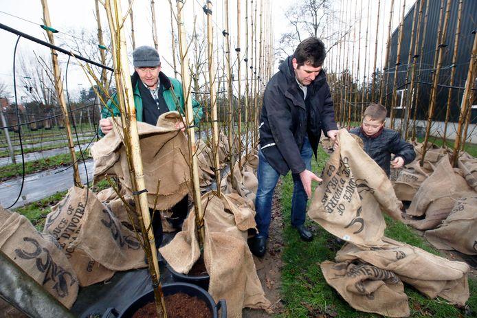 Drie generaties boomkwekers Verwoert steken in Dodewaard de handen uit de mouwen om de wortels en laagste delen van de kostbare en populaire Amerikaanse amber af te dekken.