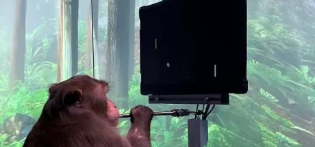 Grâce à une puce d'Elon Musk, ce singe joue à un jeu vidéo