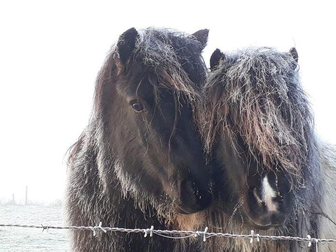 Paarden in de Angerse polder