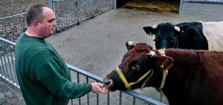 Kinderboerderij in Zwijndrecht is dolblij met nieuw winterverblijf voor koeien