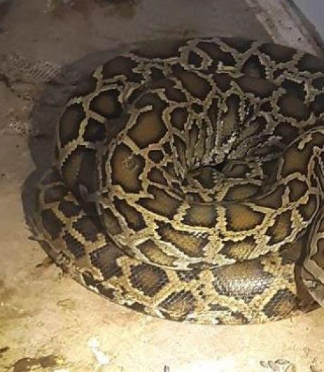 Politie wil controleren hoe het met een Rotterdammer gesteld is, maar treft pythons aan in huis