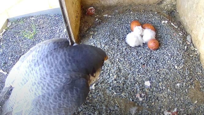 Camera in nestkast toont hoe kuikentjes van slechtvalk ter wereld komen