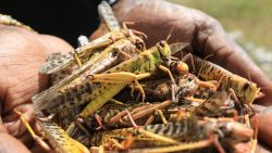 Ongeziene sprinkhanenplaag teistert Kenia