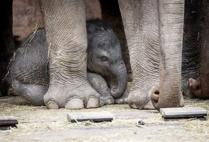 Het pasgeboren olifantenjong in de Rotterdamse dierentuin Blijdorp.