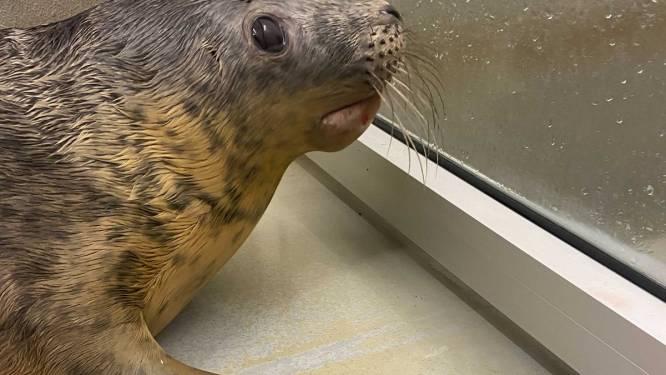 Fans KV Oostende vernoemen geadopteerde zeehond naar 'Koninginnen van het Visserslied'