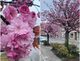Natuurpracht kleurt Groendreef roze