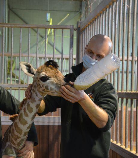 """Une girafe de Rothschild est née à Bellewaerde: """"Nous l'avons nommée Kamala en hommage à la vice-présidente américaine"""""""