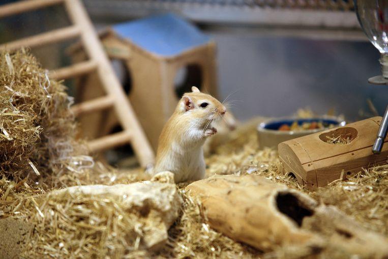 Een muis als huisdier. Beeld anp