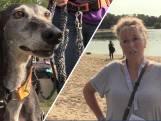 Windhondendag is een groot feest: 'Baasjes en honden zijn echt aan het genieten'