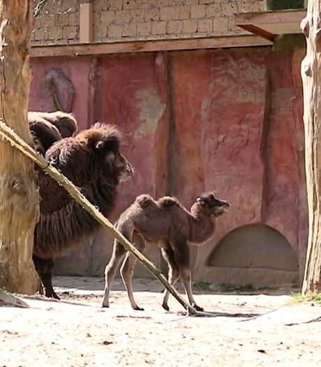 Weer een kameeltje geboren in DierenPark Amersfoort en ze heet Roxy