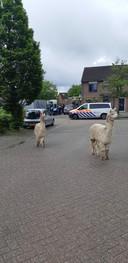 De loslopende alpaca's in Klundert.