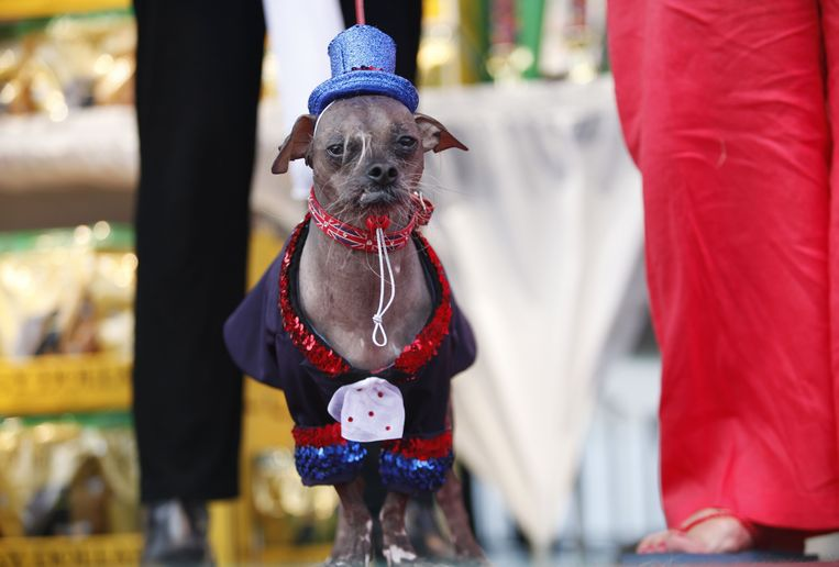 A Chinese crested, named Mugly, appears on the stage for judging during the 2012 World's Ugliest Dog contest at the Sonoma-Marin Fair in Petaluma on June 22, 2012 in California. AFP Photo / Kimihiro Hoshino Beeld AFP