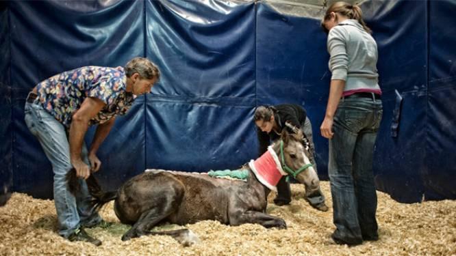Alweer paard in Limburg gruwelijk verminkt