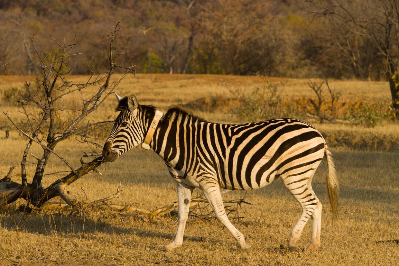 Zebra met zender. Beeld Jasper Eikelboom