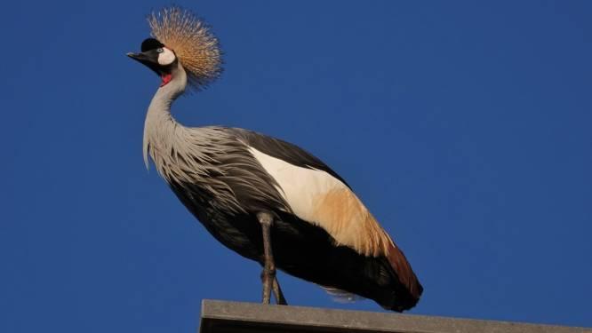 Liessel in de ban van ontsnapte kraanvogel: dier houdt met zijn harde geroep inwoners uit hun slaap