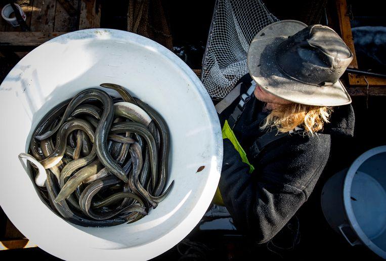 Een historische palingaak in Enkhuizen met een vracht van 500 kilo paling uit Friesland.  Beeld Hollandse Hoogte /  ANP
