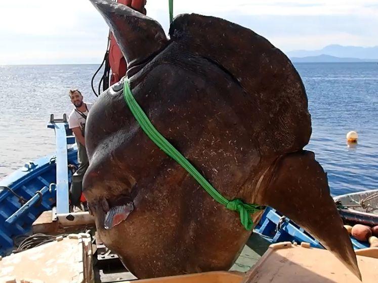 Spaanse vissers halen enorm 'zeemonster' van 1000 kilogram binnen
