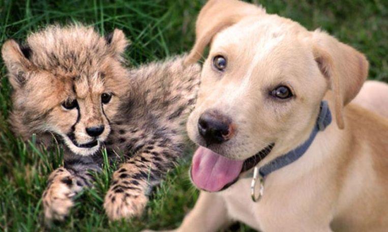 Een bijzondere vriendschap: cheetah en hond zijn onafscheidelijk