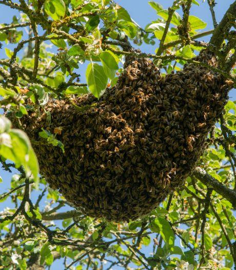 Een bijenzwerm, ontzagwekkend maar ongevaarlijk