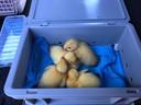 Enkele van de kuikentjes die in het park Mariadal in Zaventem van de verdrinkingsdood gered werden.