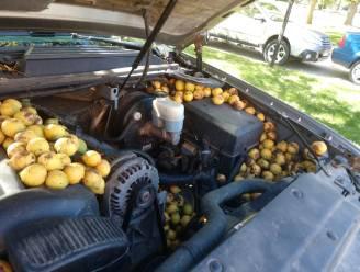 Serieus voorraadje: eekhoorn vult pick-uptruck met duizenden walnoten