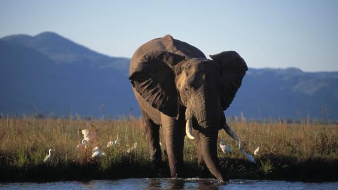 Zimbabwe verkoopt rechten om te jagen op bedreigde olifanten