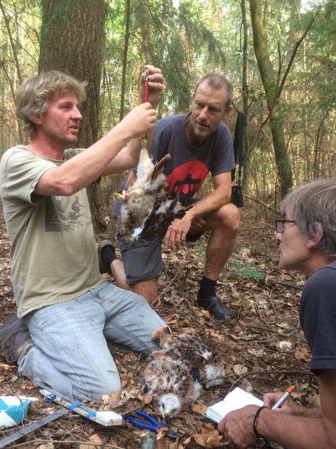 Stef van Rijn (links), Anton Koot en Hans Kleine Koerkamp nemen de gegevens op van de jonge rode wouwen uit het nest bij Deventer.