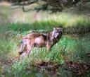 Een wolf op de Veluwe, buiten het afgerasterde Nationaal Park de Hoge Veluwe.