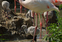 Bij de Beekse Bergen zijn acht flamingo's uit het ei gekropen.