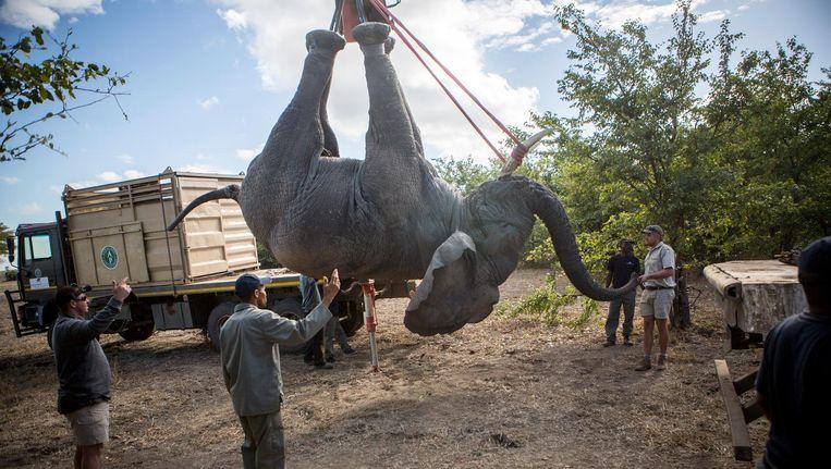 Een verdoofde olifant wordt op een truc getild. Beeld Julius Schrank