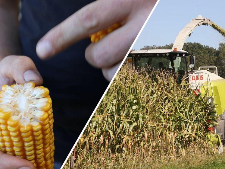 Hakselaars draaien overuren, de maïs mag weer geoogst