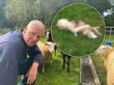Schapen van Coen uit Heino gruwelijk afgeslacht, door wolf? 'Als je dat ziet, hoef je even geen eten meer'