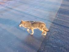 Wat te doen als je toevallig een wolf ontmoet?