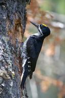 De zwartrugspecht en komt voor in bosrijke gebieden in Noord-Amerika.