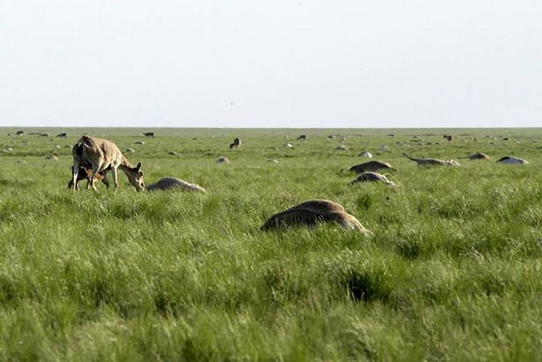 Dode Saiga antilopen in Kazachstan. Beeld Association for the Conservation of Biodiversity of Kazakhstan