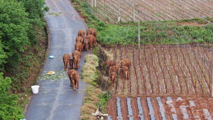 Aziatische olifanten genieten de hoogste beschermde status in China.