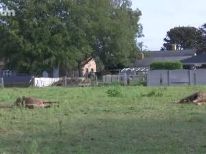 """Un loup attaque deux poneys dans le Limbourg: """"Nous en avons assez de nous coucher chaque soir dans la peur"""""""