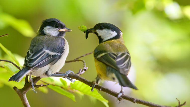 Vogels zijn afhankelijk van rupsen om hun jongen te voeden, maar die rupsen komen nu vaak eerder uit, waardoor vogels het moeilijk hebben om ze bij te benen.