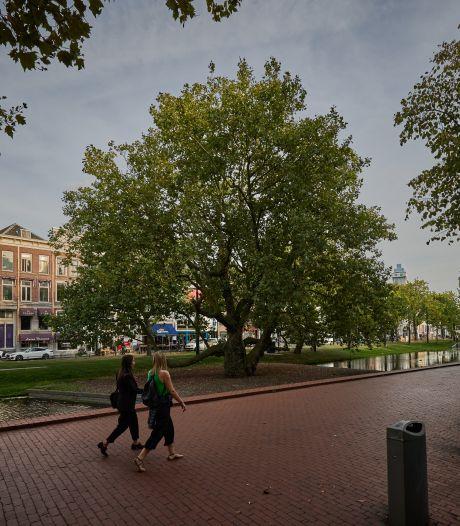 Is dit de boom van het jaar? Deze plataan overleefde bommenregen en zag Rotterdam veranderen
